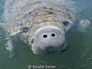 Curious manatee at the Wakulla river by Beate Seiler 